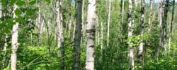 NS-Birch-Forest